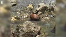 Watch: Kiwi bird's rare daylight outing, cools off in stream