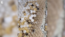 Huntly couple's horror discovery: Monster wasp nest in the wall
