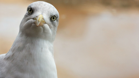 Study finds seagulls prefer food humans have touched