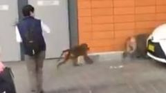 Baboons on the loose at RPA Hospital, Sydney. (Photo / Nine News)