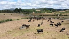 The big dry is visible on the farm belonging to Northalnd farmer Terrance Brocks at Kaikohe. Photo / Chris Tarpey