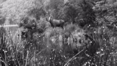 A moose photographed in Fiordland in 1952. Photo / Supplied