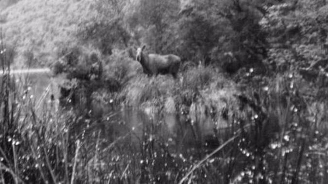 Is there a moose on the loose in Fiordland?