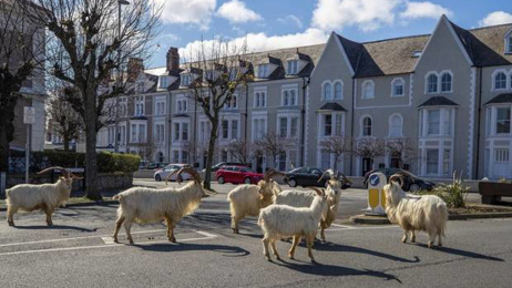 Wild goats take over deserted Welsh town during lockdown