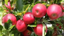 Research finds 10% of Central Otago fruit is being wasted