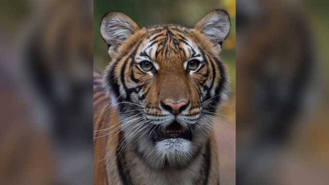 Nadia, a 4-year-old female Malayan tiger at the Bronx Zoo, has tested positive for COVID-19. The tiger is expected to recover. (Photo / Wildlife Conservation Society)