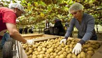 Horticulture sector 'lifeline' for more Kiwi workers
