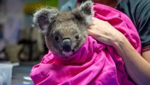 Koalas injured in Australia bushfires re-released into wild