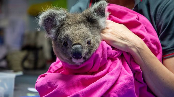 Anwen the koala has been resettled at the Lake Innes Nature Reserve in New South Wales. (Photo / Port Macquarie Koala Hospital)