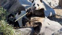 Canada zoo returns pandas back to China due to bamboo shortage