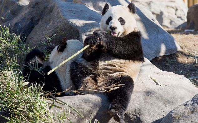 Giant pandas Da Mao and Er Shun arrived in Toronto in 2014. Photo / Getty Images