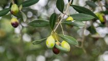 Kiwis win gold awards at olive oil competition in New York