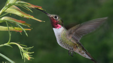 Study: Hummingbirds can see an array of colours invisible to humans
