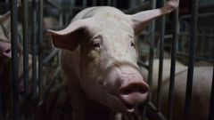This photo taken on August 10, 2018 shows a pig standing in a pen at a pig farm in Yiyang county, in China's central Henan province. (Photo / CNN)