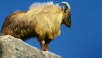 Hunters question Department of Conservation over tahr plans