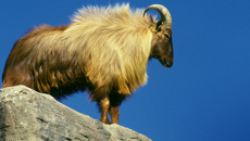 Willie Duley: Hunters question Department of Conservation on tahr plans