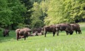 Wild bison to be released into the UK for first time in nearly 10,000 years