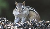 Chipmunks in New England are causing chaos! (Photo / AP)