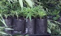 Kate Hawkesby: Legalising cannabis - why would we be so dumb?