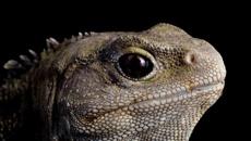 Neil Gemmell: The genetic secrets of NZ's 'living fossil' tuatara