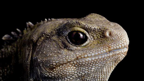 Neil Gemmell: The genetic secrets of NZ's 'living fossil' tuatara
