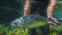 NZ King Salmon within guidance, sales down in stormy Covid waters