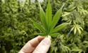 Kevin Milne: Try cannabis before you vote