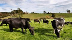 Mycoplasma bovis has been detected on a dairy farm in Mid Canterbury. Photo / File