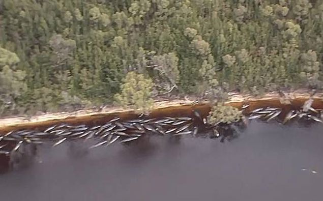 In this image made from aerial video shows numerous stranded whales along the coastline Wednesday near the remote west coast town of Strahan on the island state of Tasmania. Photo / AP