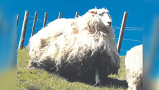 Rob Faulkner: New 'Shrek' the sheep found living in Gisborne forestry block