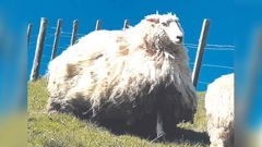 """""""Shrek 2"""" has been found living in a forestry block adjoining Wairakaia Station at Muriwai and the long, woolly beast of a sheep will feature at the Spring Show. Photo / Supplied"""