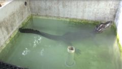 The Chinese alligator is seen in a tank, prior to the helium experiment. (Photo / Supplied via CNN)