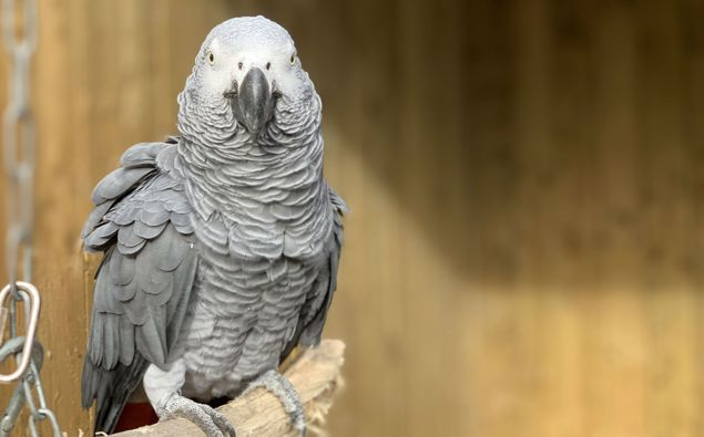 Elsie, one of the potty-mouthed parrots. (Photo / Lincolnshire Wildlife Park)