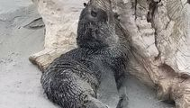 Beach walkers concerned after 'emaciated' seal found on Waimairi Beach