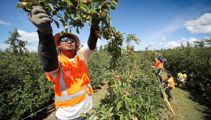 Government to let in 2000 fruit pickers from Pacific