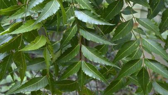 Ruud Kleinpaste: How to use Neem Oil in the garden