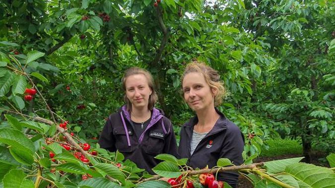 Panmure Orchards packhouse manager Jacqui Beer (left) and orchard owner Bridget Hiscock with a branch of completely split Skeena variety cherries. Photo / Otago Daily Times
