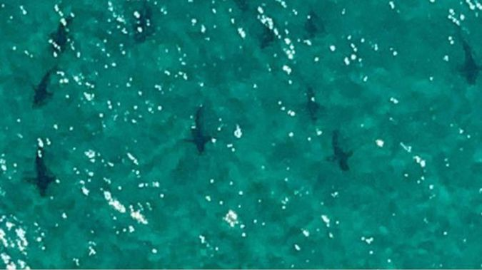 Dozens of bronze whalers and hammerheads were spotted from the air off Matarangi Beach. (Photo / Philip Hart)