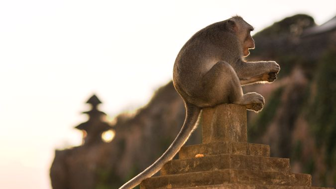 Monkeys at the Uluwatu Temple in Bali, Indonesia, have been observed bartering stolen objects for food rewards according to a new study.