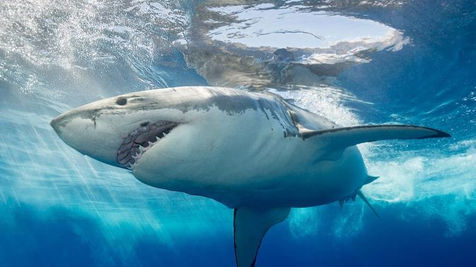 Two sharks, believed to be Great Whites, have been seen in Auckland's Hauraki Gulf this morning. Photo / Getty Images