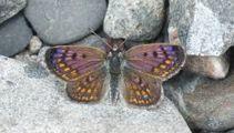 Boulder copper butterflies return to Christchurch