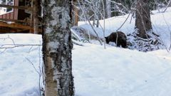 This Feb. 14, 2021 photo provided by Julia Heinz shows a bear seen near where Alaska resident Shannon Stevens was bit from underneath a day before while in an outhouse northwest of Haines, Alaska.