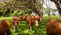 Outrage as Cornwall Park cows due to be shipped to Mongolia