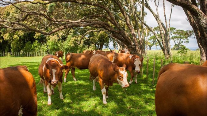 Cows at Cornwall Park will soon be shipped to Mongolia as part of a breeding programme for farmers there. (Photo / Cornwall Park)