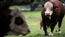 Cornwall Park cows will no longer be shipped overseas for breeding