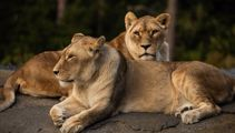 Wellington Zoo euthanises two lions due to health issues