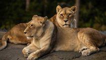Heather du Plessis-Allan: Wellington Zoo should not replace the lions