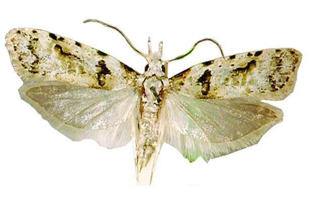 Adult Guava Moth