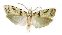 Ruud Kleinpaste: Keeping guava moths at bay