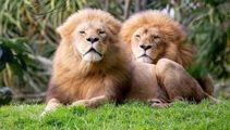 Auckland Zoo euthanises elderly lions Zulu and Malik